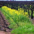 "Mustard, mustard everywhere! Well, maybe ""everywhere"" is a bit of an exaggeration. We plant a mixture of grasses and other plants in the dirt between every other row of..."